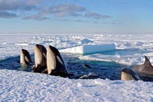 Orca whales, Antarctica