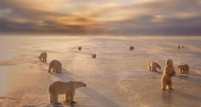 Polar bears in Churchill, Manitoba, Canada