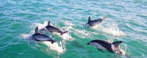 Swimming with dolphins, Kaikora