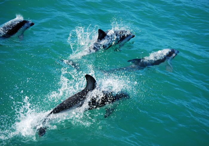 Dolphins, Kairkoura, New Zealand