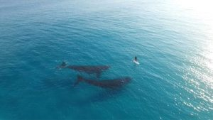 Whales meet paddle boarder