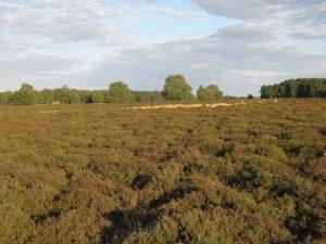 Cavenham Heath, Suffolk