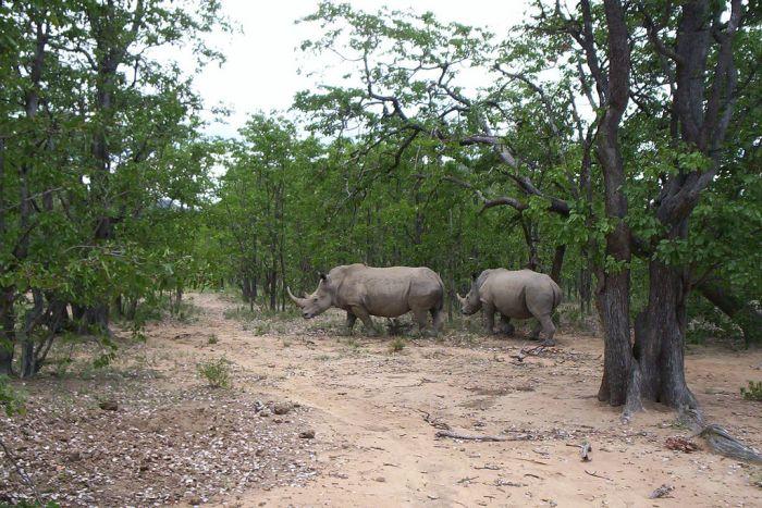 The white rhino, Matobo National Park, Zimbabwe