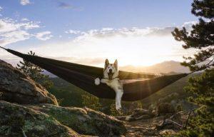 Loki the wolfdog Instagram