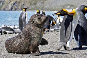 Fur Seal, South Georgia