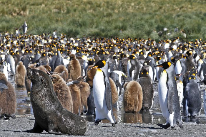 King Penguin colony, Gold Harbour, St Andrew's Bay, South Georgia