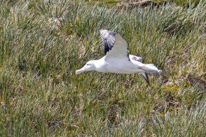 Wandering Albatros, Prion Island, South Georgia