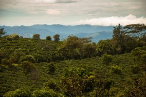 Costa Rican Coffee Plantations
