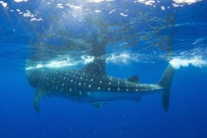 Swimming with sharks on St Helena