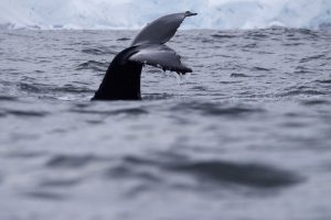 Whale watching in Antarctica