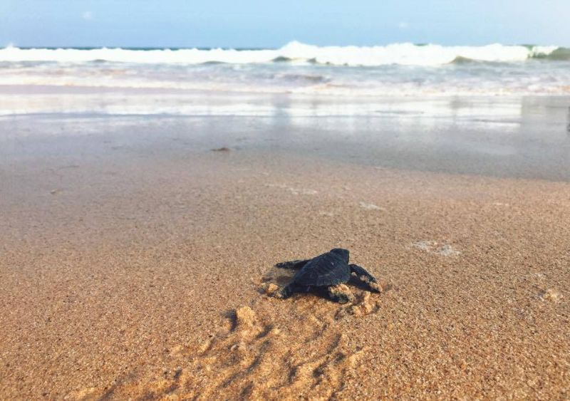 Baby turtle in Sri Lanka