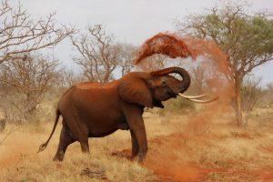 Elephant in Kenya, Safari