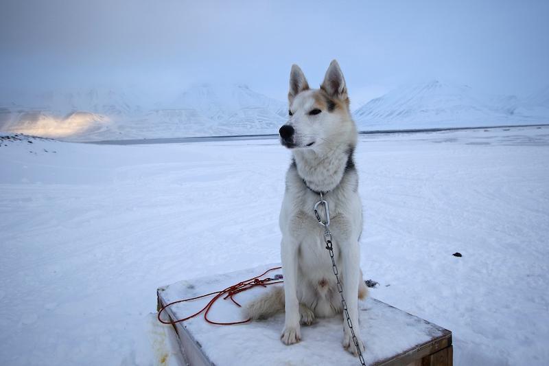 Husky in Svalbard