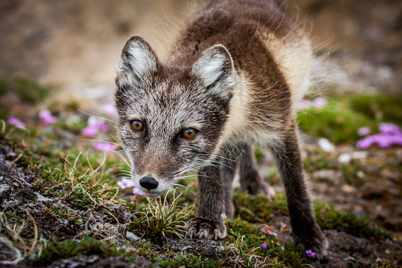 Arctic fox in Norway