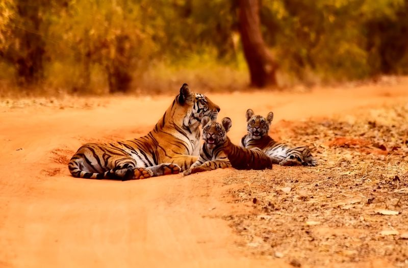 Tigers national park India