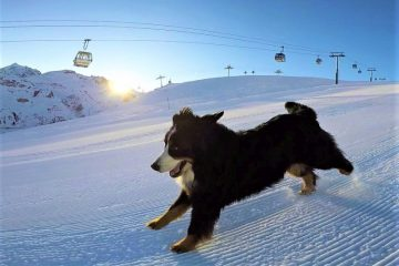 Adventurer Bernese dog morning ski