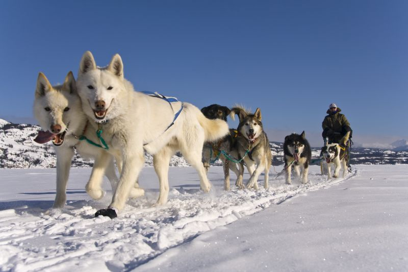 Dog sledding in Yukon Canada