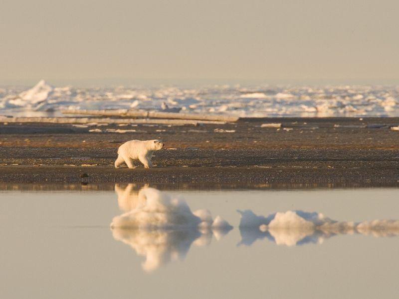 Polar bear wildlife experience
