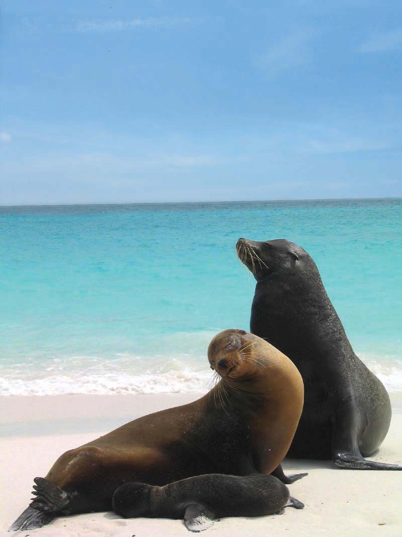 Seals in the Galapagos Island