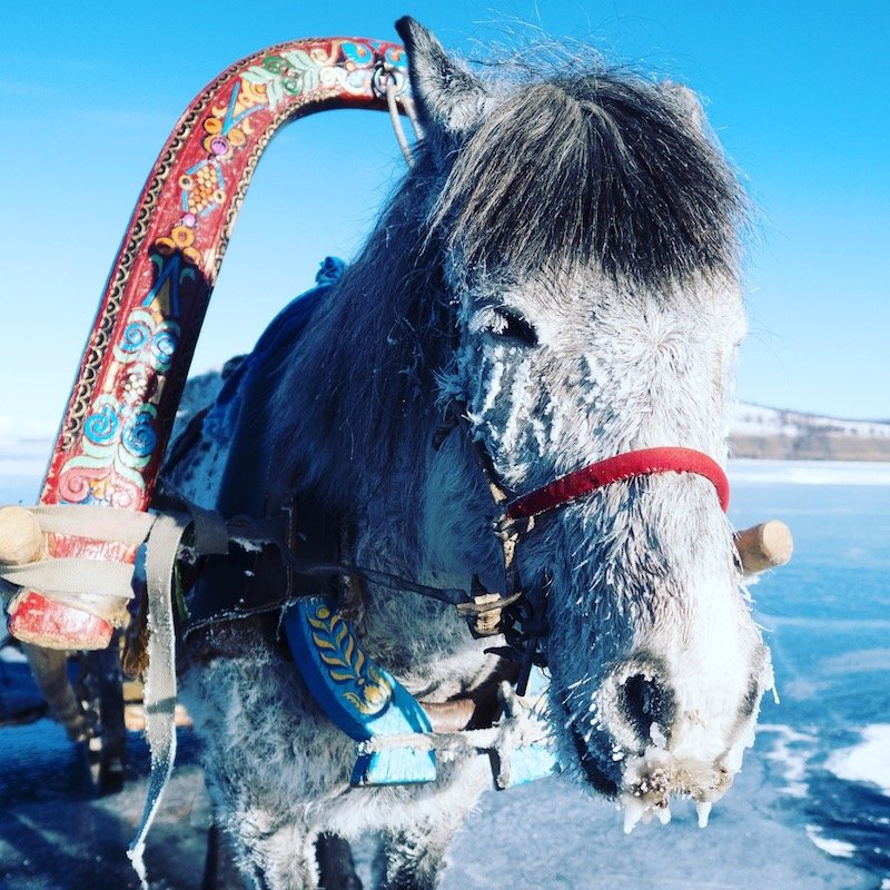 horse with frozen face Mongolia