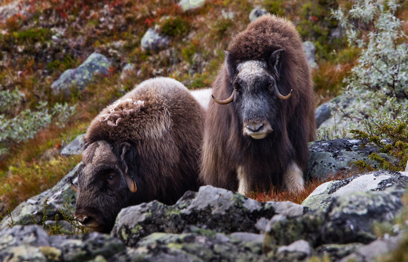 close encounter with musk oxen in Dovrefjell National Park - most incredible hiking in norway