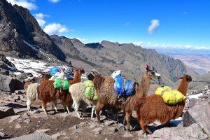 the lares machu picchu trek alpacas