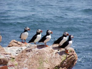puffins on cliff - best hiking in Iceland