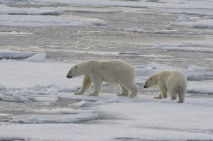 polar bears in the arctic circle longyearbyen