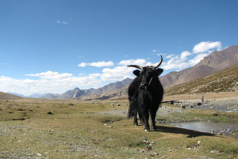 best himalayan treks - markha valley yak