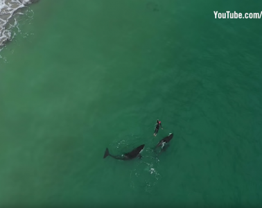 Swimming with orcas