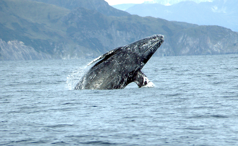 gray whale things to do in vancouver