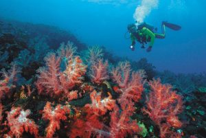 Diver exploring vivid soft coral trees on steep submarine wall.