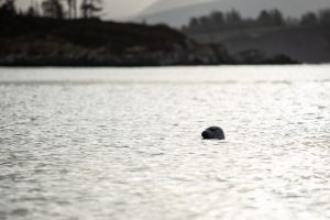 A glimpse of a seal in ireland