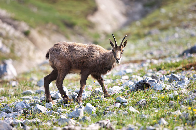 A chamois in the mountains of Switzerland