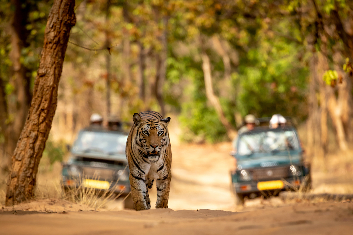 India tiger best tours to go on in 2020