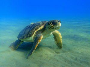 sea turtle in Zante