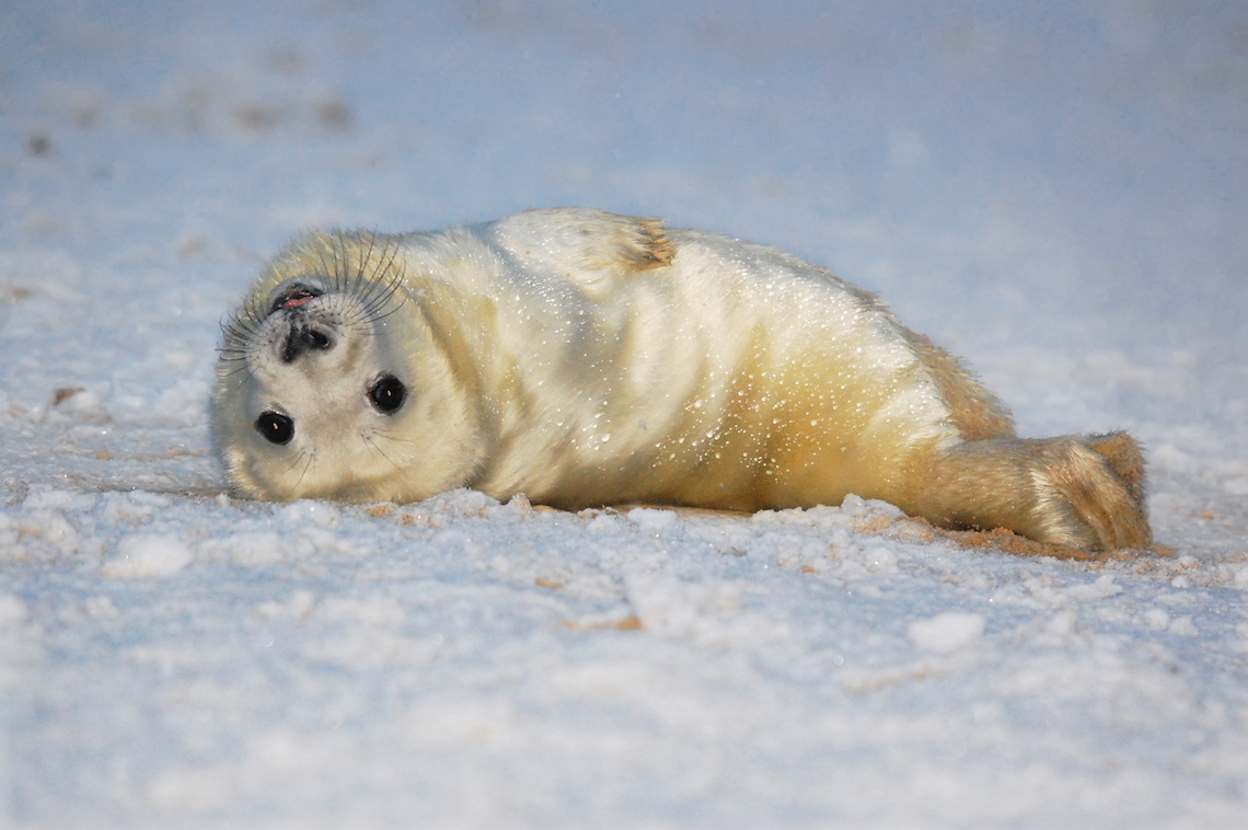 Baby seal on the beach in Cornwall