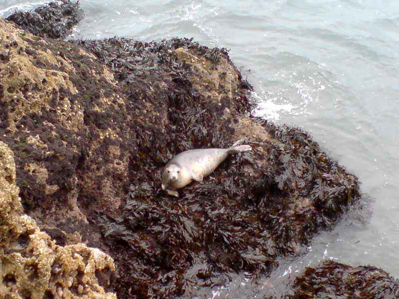 a seal on worms head the gower coast path