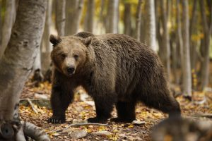 brown bear best places in Greece for wildlife