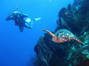 diving with a turtle in Dominica