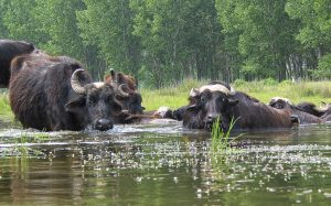 Buffallos at Kerkini best places in greece for wildlife
