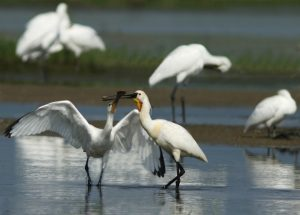Spoonbills at lake kerkini