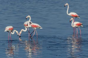 Flamingos in Lake Vistonida, one of the best places in Greece for wildlife