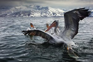 pelicans prespa best places in greece for wildlife