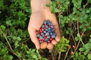 Forest foraging handful of berries - best things to do in Latvia
