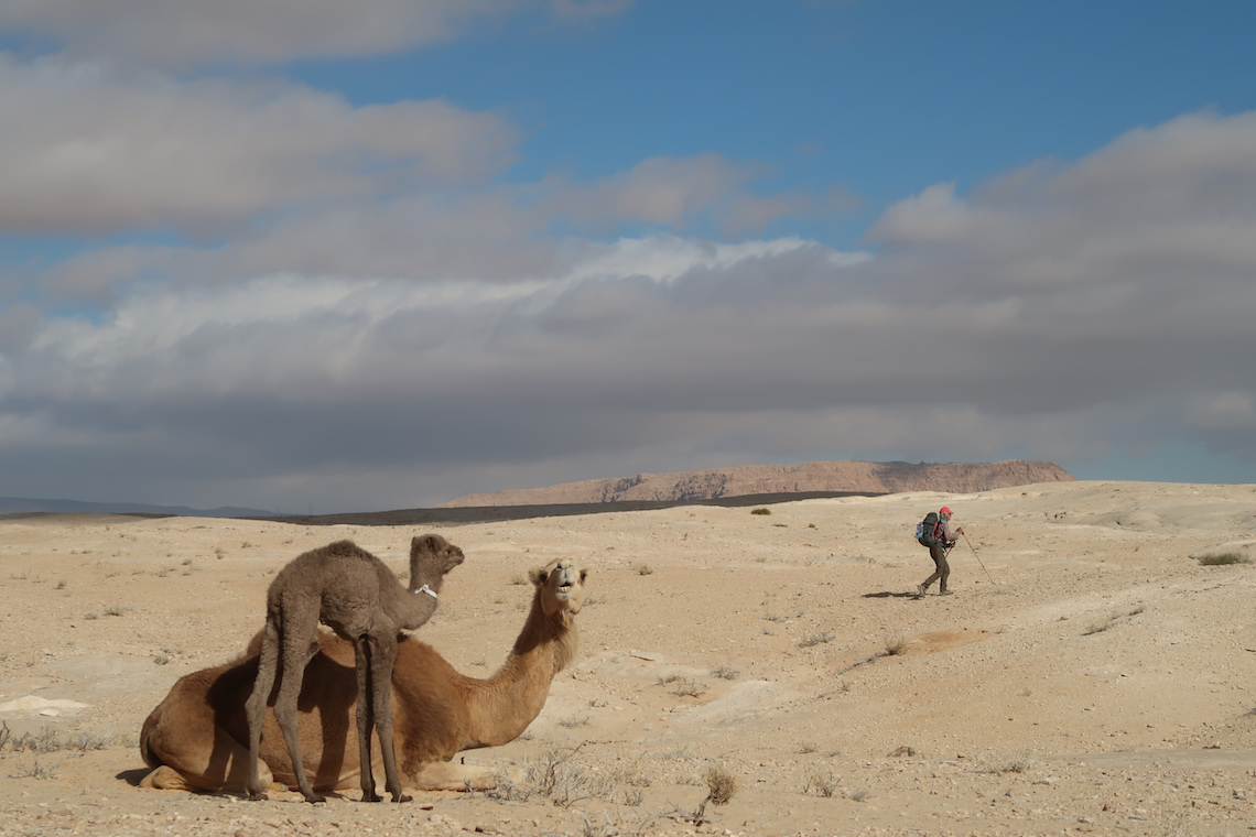 camels in the desert on the Jordan Trail