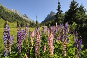 St Anton am Arlberg in summer with lupins in bloom