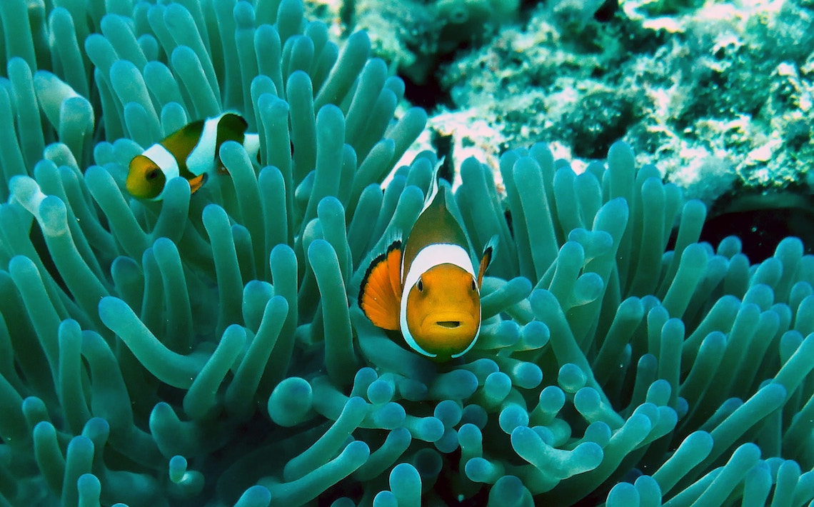 Clown Fish during Marine Monitoring - Volunteering in the Philippines