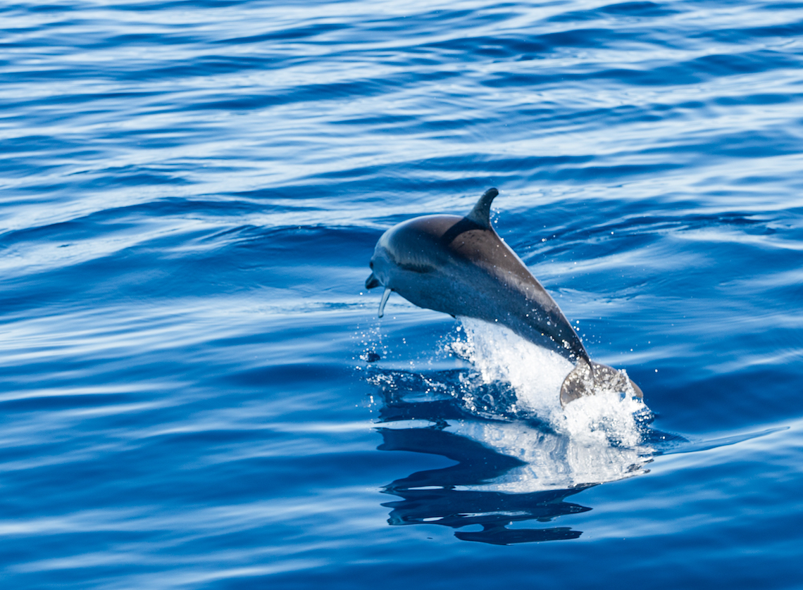 Dolphin spotting in St Helena