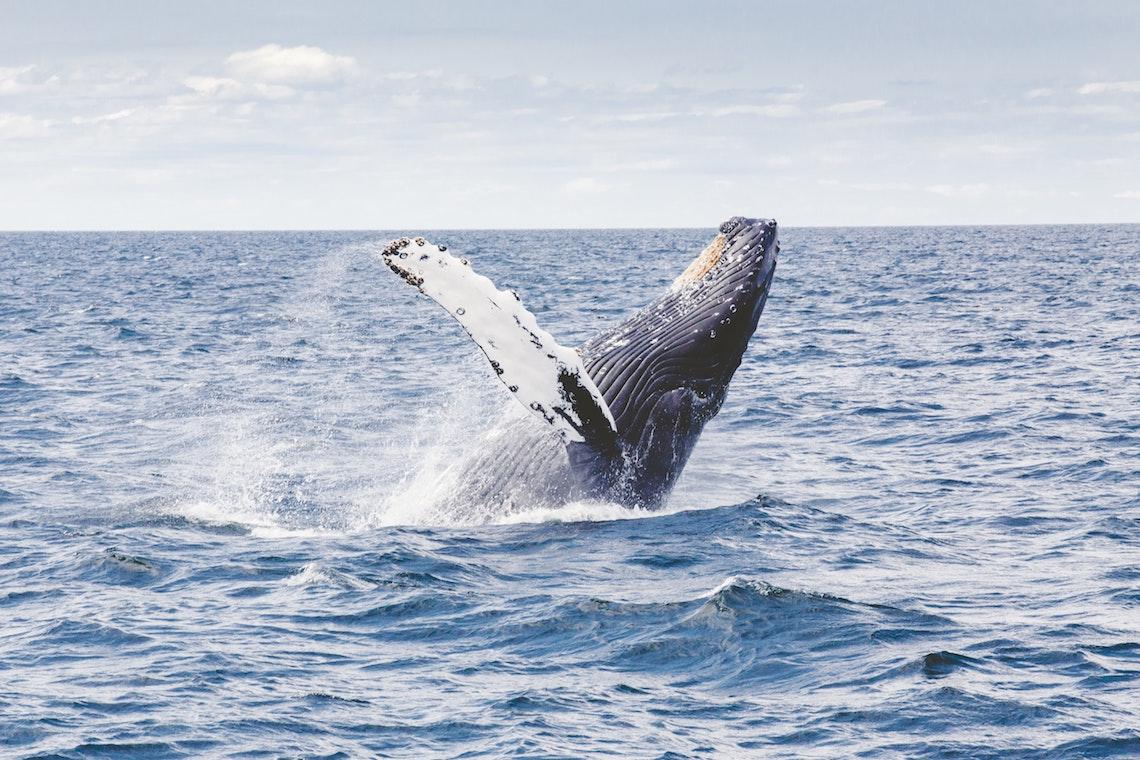 humpback whales in St Helena